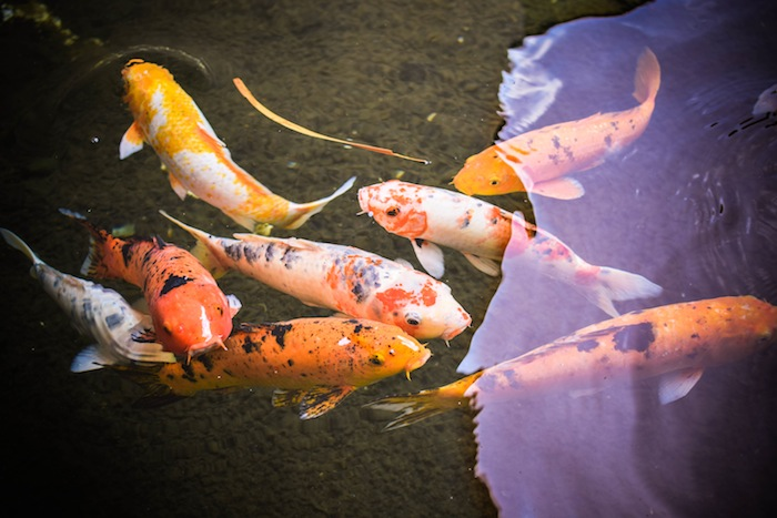 Koi Fish Grand Hyatt Edited